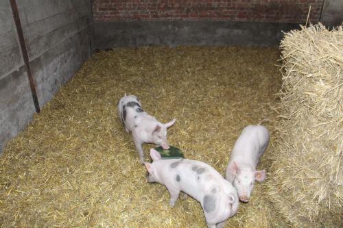 nos porcs